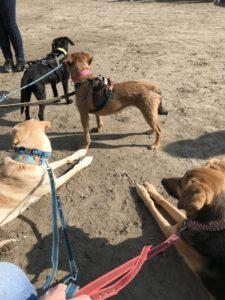 Viele Hunde im Zuggeschirr entspannt beieinander