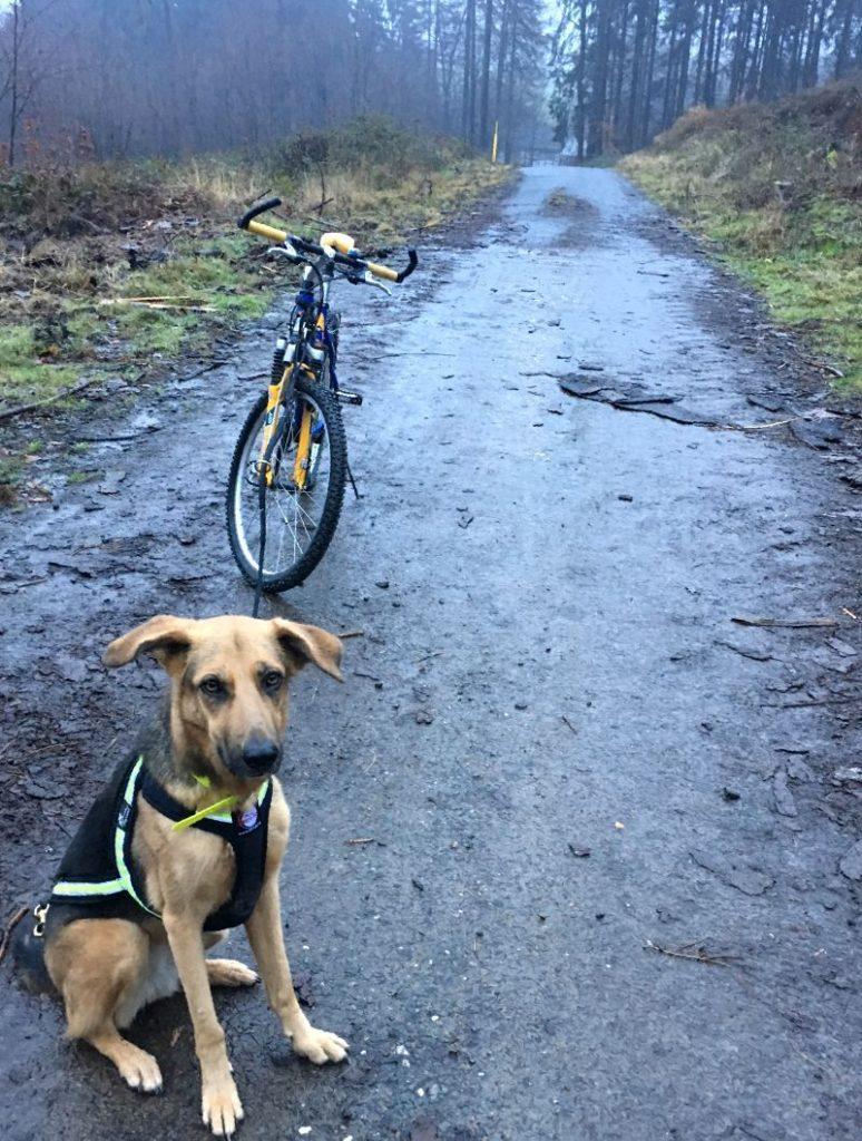 Hund im Zuggeschirr vor Fahrrad