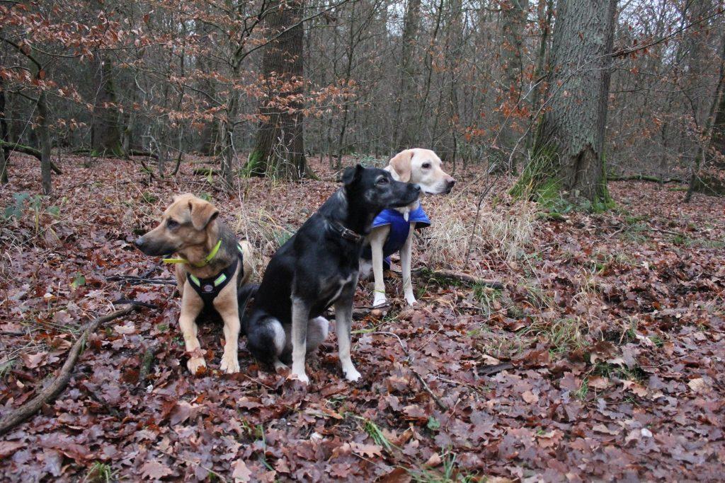 Amber, Buddy und Black im Wald